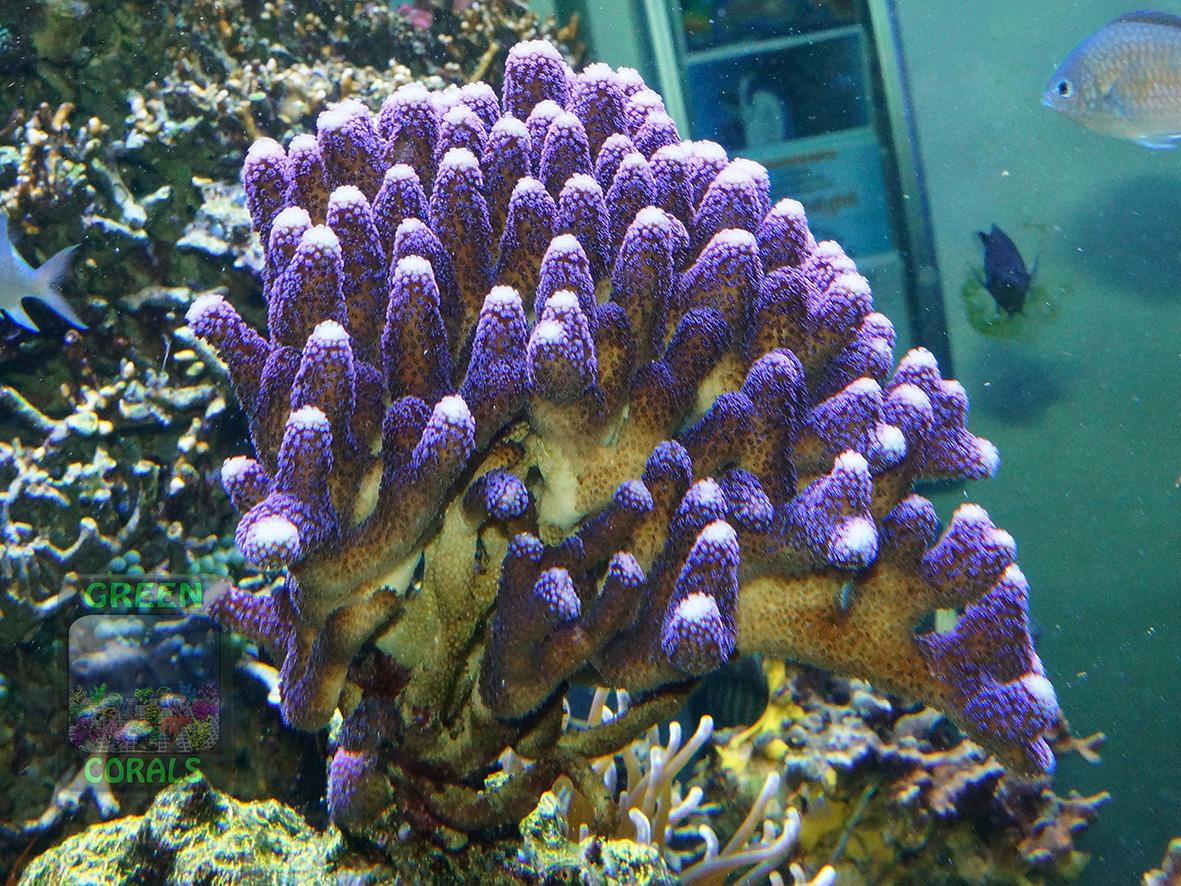 2_Stylophora pistillata `lila´_DSC01114