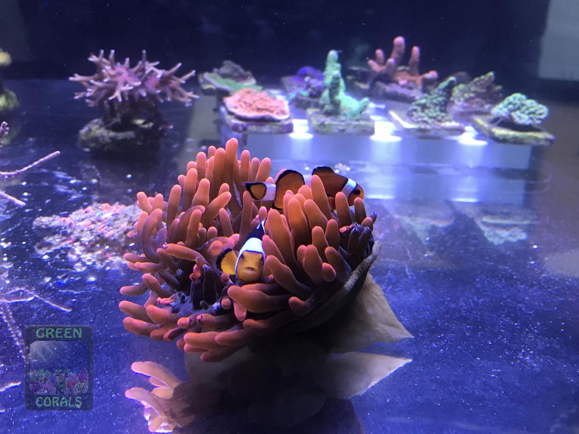 """Auch """"Nemo"""", der Clownfisch ist mit seiner Anemone dabei"""