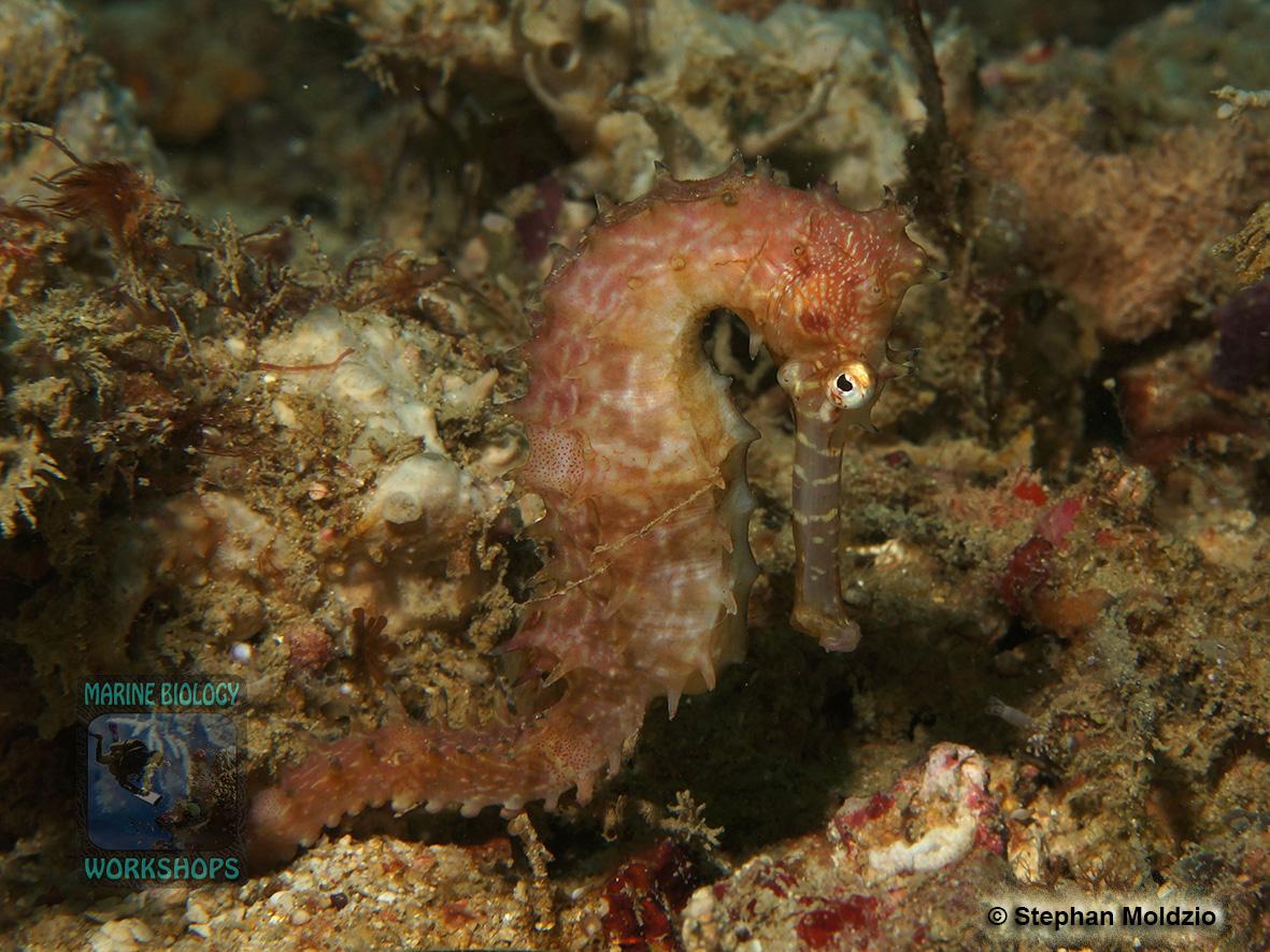 DSC01555 Hippocampus histrix b