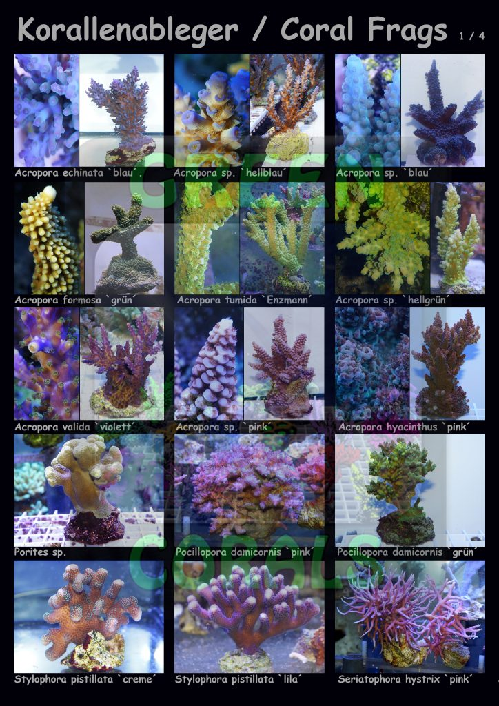 1611-korallenableger-coral-frags-1-4-15-arten-sps-wz