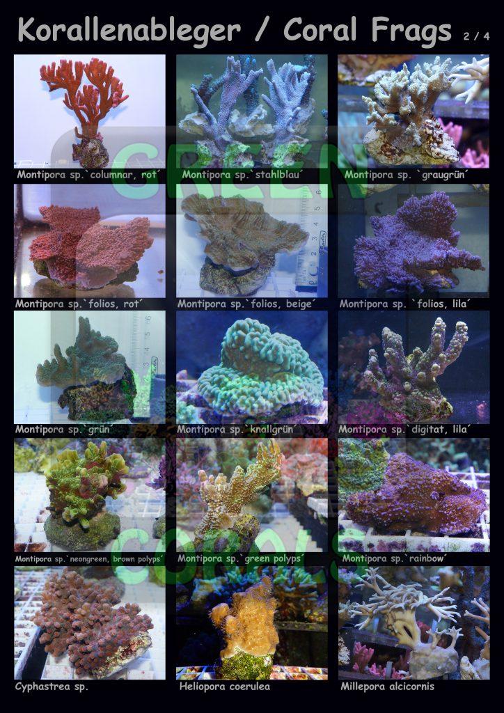 1611-korallenableger-coral-frags-2-4-15-arten-sps-wz