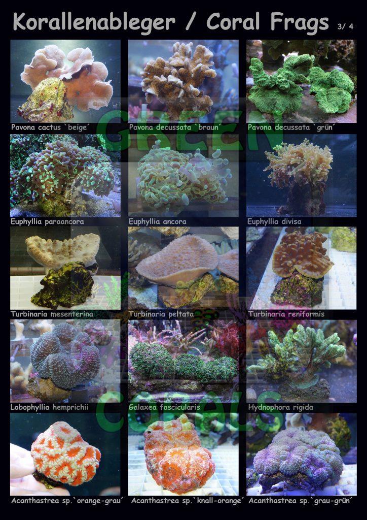 1611-korallenableger-coral-frags-3-4-15-arten-sps-wz
