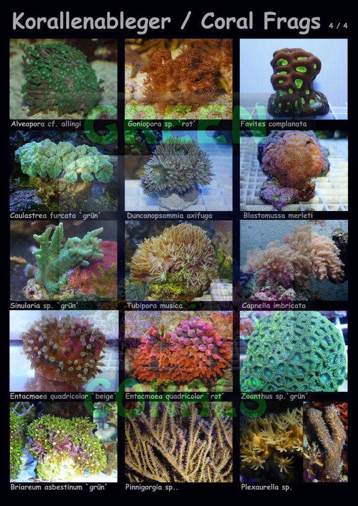 1611-korallenableger-coral-frags-4-4-15-arten-sps-wz