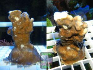 Blaue-Koralle-077-Heliopora-coerulea-2er