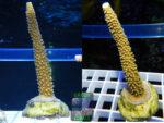 Ableger Green Corals SPS Acropora-sp.-5-formosa-gruen