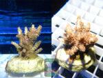 SPS_010-Acropora-hyacinthus-pink´-2er