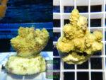 SPS_013-Acropora-hyacinthus-gruen´-