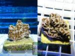 SPS_029-Montipora-sp.16-blueorange-polyps