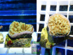 SPS_125-Montipora-sp.20-gruen-orange´-2er.