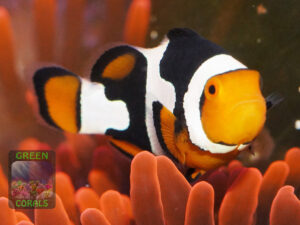 Amphiprion-percula-Picasso´