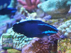 Pseudochromis-springeri