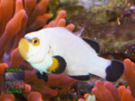 Amphiprion-percula-platinum