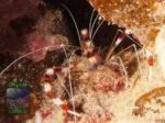 Stenopus-hispidus-