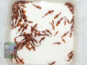 Amphiprion-ocellaris-