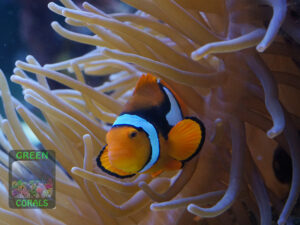 Amphiprion-percula