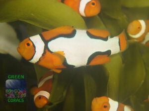 Amphiprion percula `Picasso´