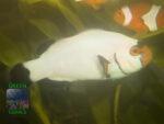 Amphiprion-percula-platinum´