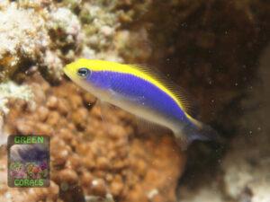 Pseudochromis-flavivertex