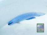 Pseudochromis-sankeyi-x-fridmani-