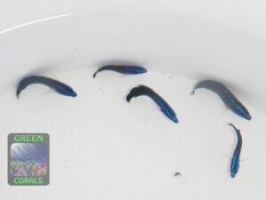 Pseudochromis-springeri-WZ