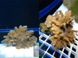 WG_127-Sinularia-brassica