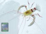 Stenopuszanzibaricus