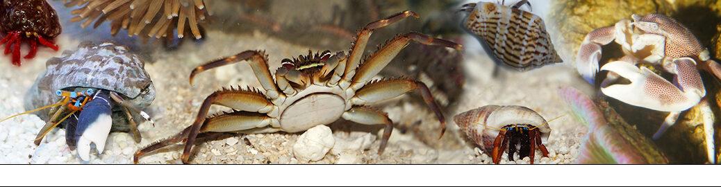 Krabben-Einsiedlerkrebse